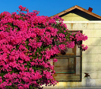 House and Bougainvillea